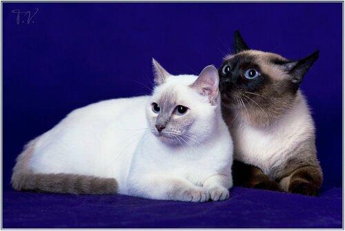Тайская кошка чудо с глазами ангела и