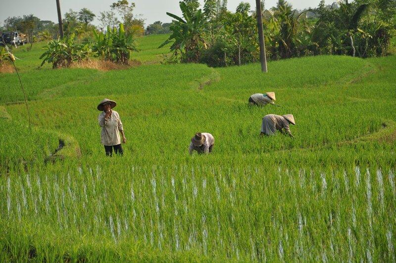 Балийцы занятые работой на рисовых плантациях. Balinese people on rice paddies.