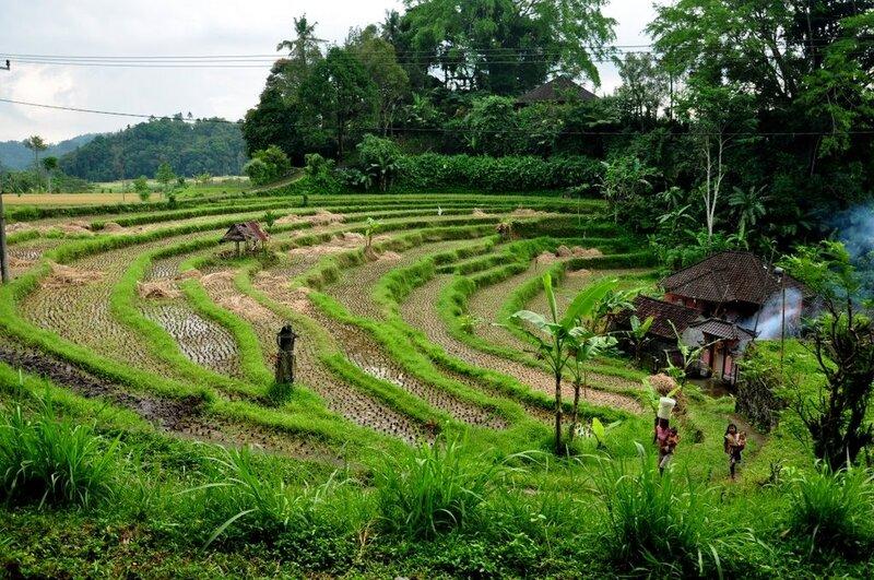 Рисовые плантации рядом с деревней Сидемен. Rice fields near Sidemen village.