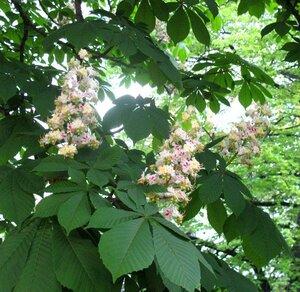 цветущие киевские каштаны