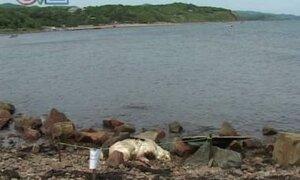 На Шаморовский пляж выбросило труп медведя