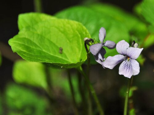 Фиалка лысая (Viola epipsila) Автор: Владимир Брюхов