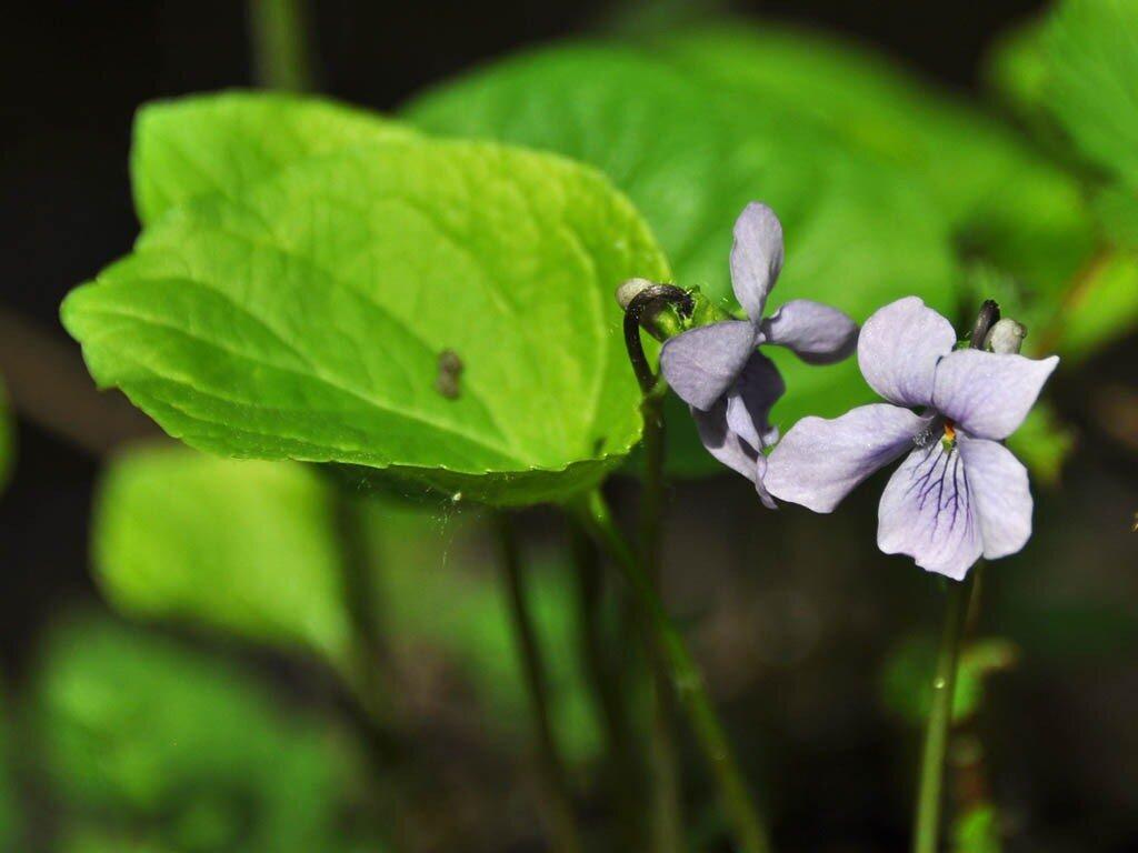 Фиалка лысая (Viola epipsila). Автор фото: Владимир Брюхов