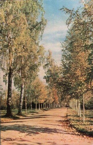 Павловск. 1965. Березовая аллея