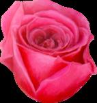 NLD Rose 7b.png