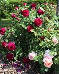 Розы 2014