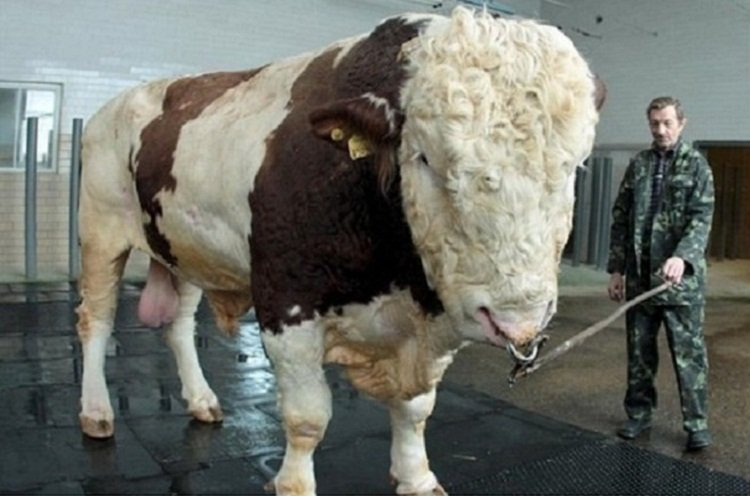 Самый большой бык Украины - бык-осеменитель Репп весит 1, 5 тонны.