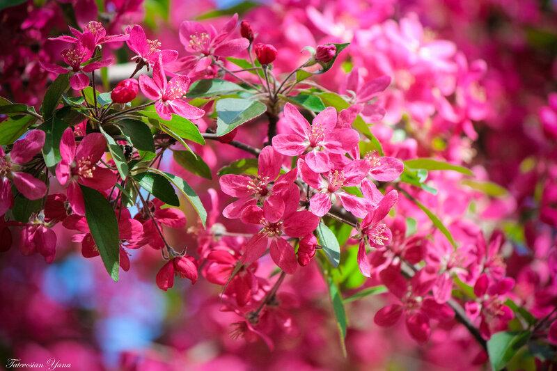 райское цветение