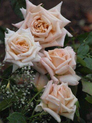 Роза чайно-гибридная Крем Карэмэл (Creme Caramel)Fryer's Roses 2008