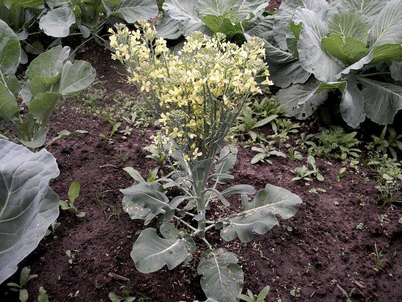почему брюссельская капуста цветет