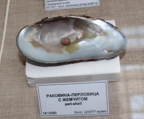 Раковина-перловица с жемчугом
