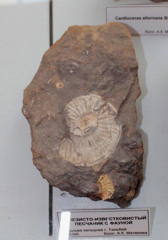Железисто-известковистый песчаник с фауной