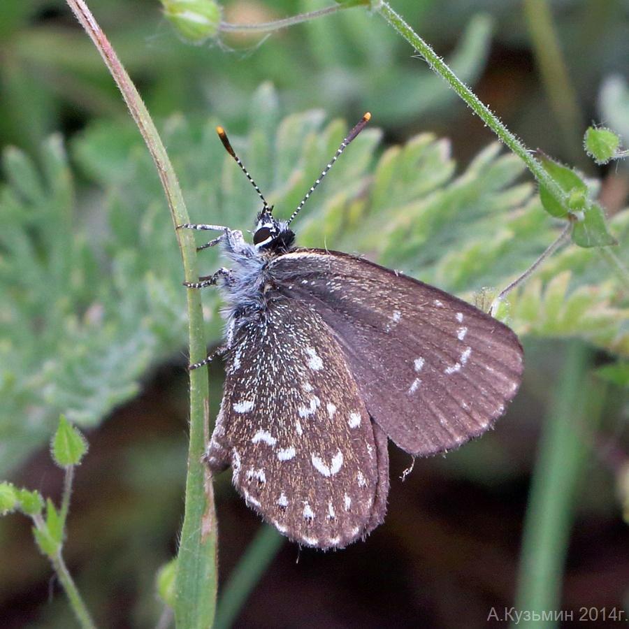 Голубянка римн (Neolycaena rhymnus)