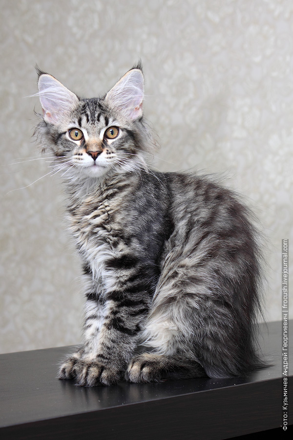 котенок мейн кун брид класса
