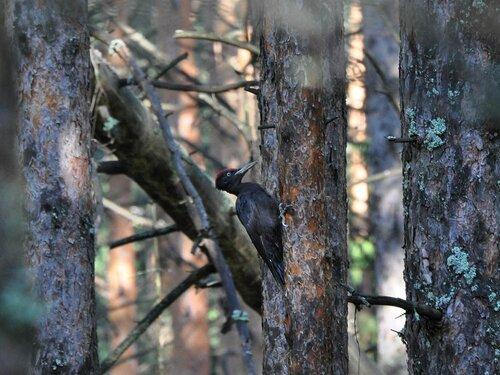 или черный дятел Автор фото: Владимир Брюхов