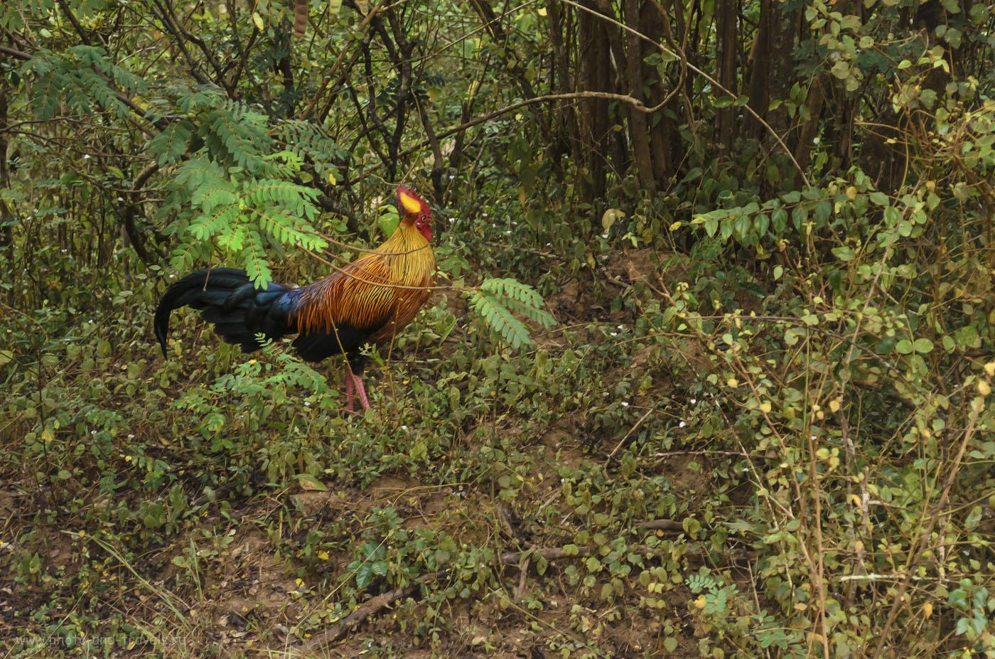 8. Фото. Дикий петух (Junglefowl) - национальный символ Шри-Ланки. По всей вероятности, именно он был предком домашней курицы. (400, 55, 5.6, 1/25)