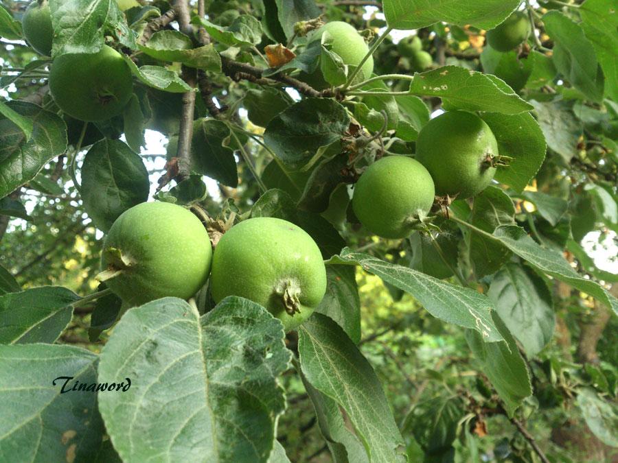 яблоки-9.jpg