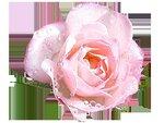 rose18.png