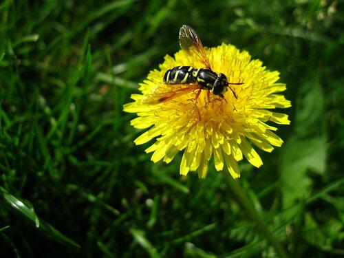 Осовидная муха с одуванчиком