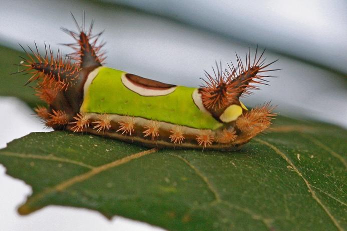 Седлистая гусеница (Sibine stimulea) обитает в Северной и Южной Америке. На вид она довольно милая и