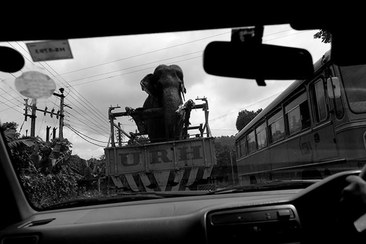 11. Перевозка слона на грузовике по столице Шри-Ланки Коломбо.