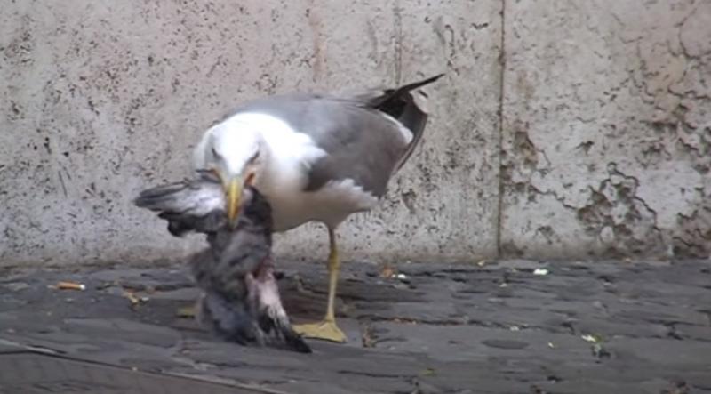 Чайка убила и сожрала голубя