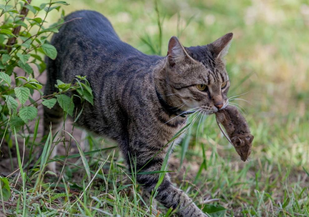 коты на охоте фото посевной