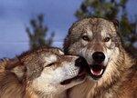 волки-4.jpg