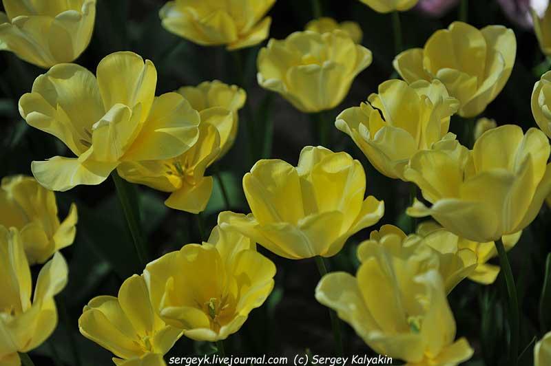 Tulipa Fedor Dobronravov (1).JPG