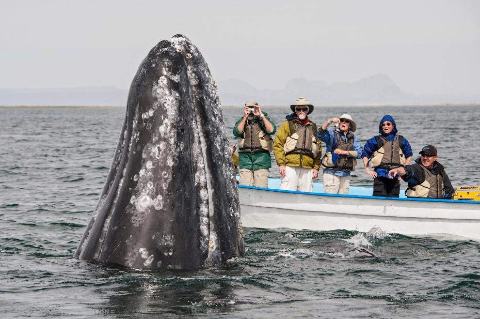 13. В прошлом серый кит был одним из основных промысловых видов китов из-за его доступности. В