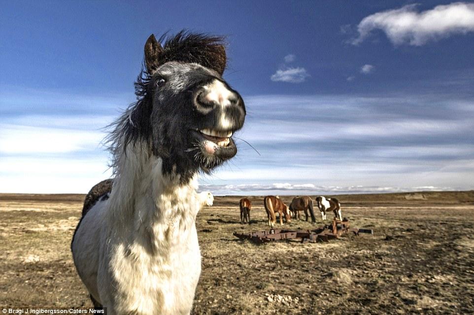 7. Основное видообразование лошадей происходило в пределах Северной Америки, откуда по существо