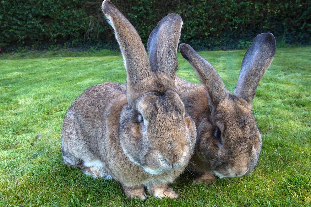 4. Дарий и Джефф — кролики породы с громким названием «континентальный гигант».