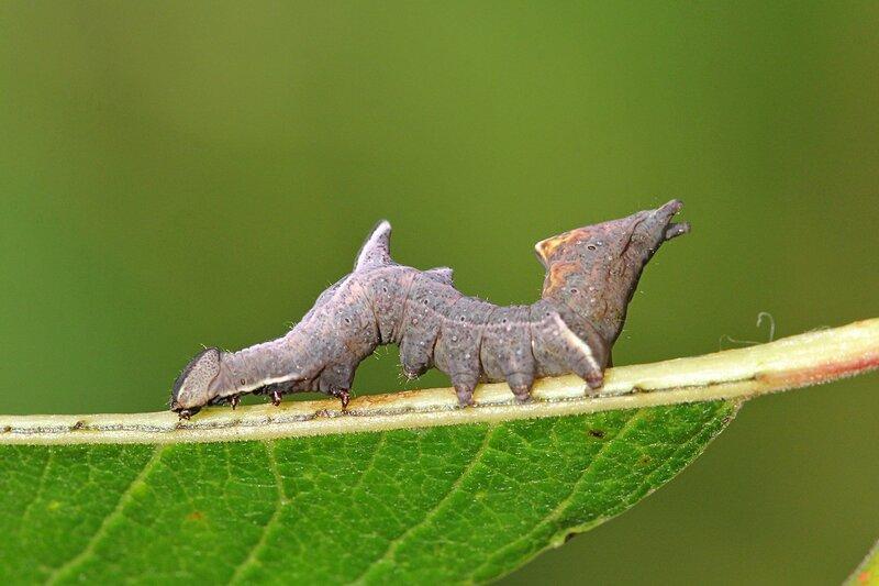 Похожая на дракона с гребнем из двух зубчиков на спине и необычной задней частью гусеница хохлатки-зигзаг (лат. Notodontia ziczac) на листке ивы козьей