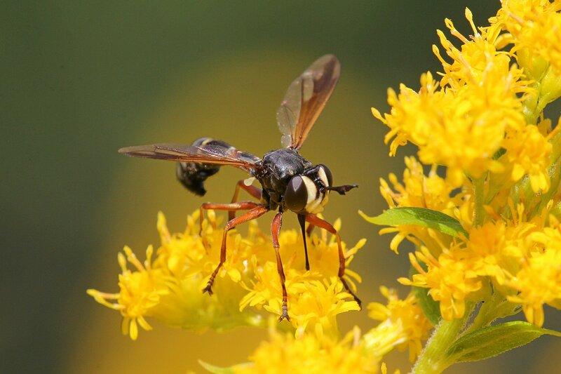 Вздутоголовка (Physocephala) муха из семейства большеголовок (Conopidae) с тонкой талией, красными лапками, тёмным передом крыльев на цветке золотарника. Паразит пчел и шмелей, вызывает конопидоз