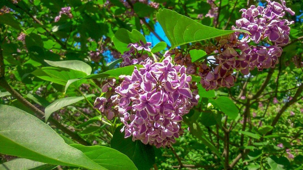 Сиреневый сад-4.jpg