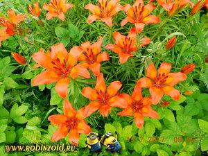 расцвели лилии