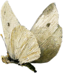 ldavi-paintersfaeries-whitemoth1.png