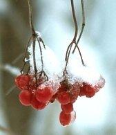 полезные свойства ягоды калина_poleznye svojstva jagody kalina
