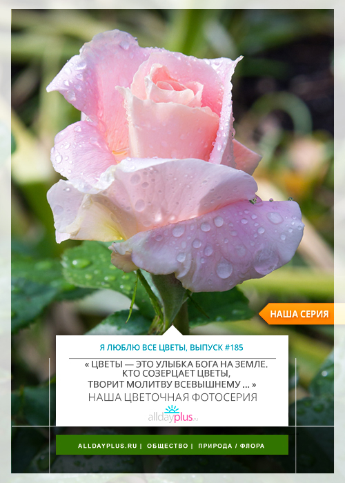 Я люблю все цветы, выпуск 185 | Роза - «Королева цветов».