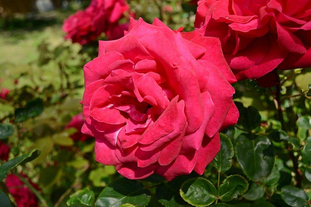 Розы Геленджика