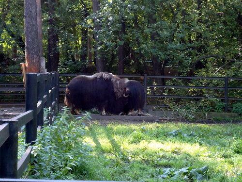 Новосибирский зоопарк. Овцебык