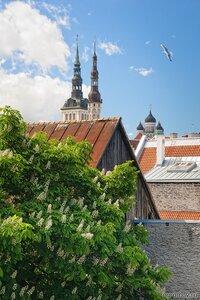 Таллин в мае (каштан, Таллин)