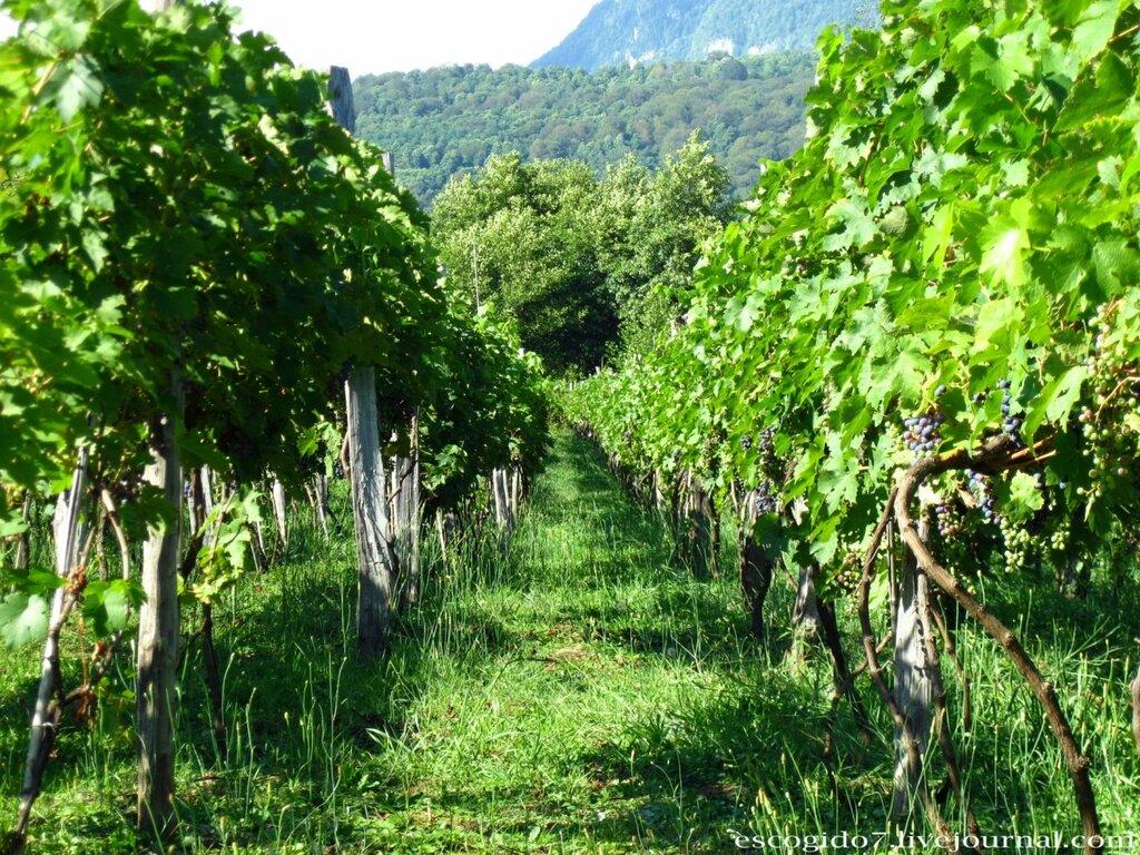 Виноград вино своими руками