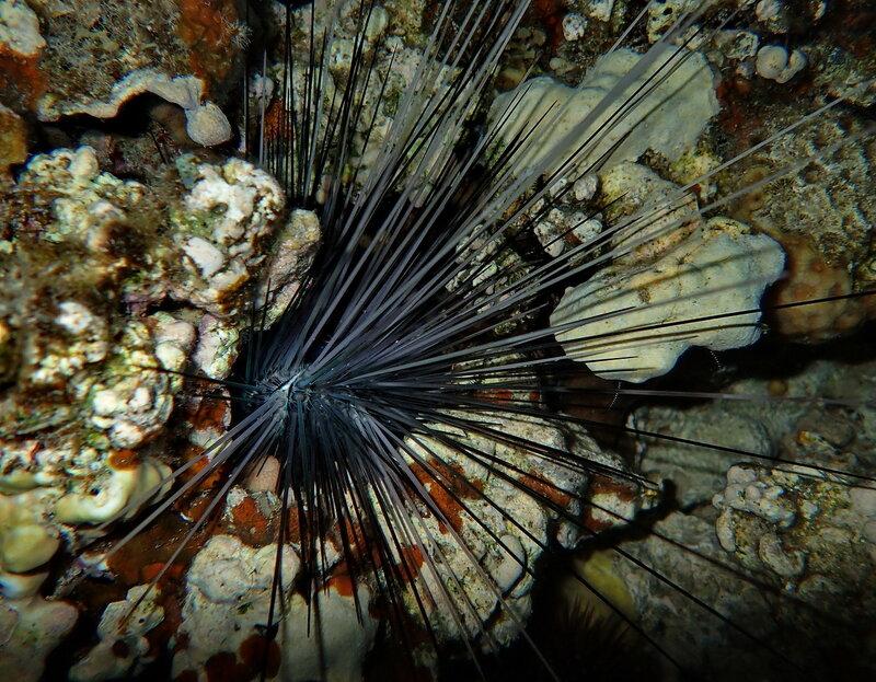Длинношипый диадемовый морской еж (Diadema setosum)