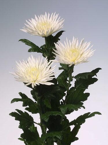 Время белых хризантем