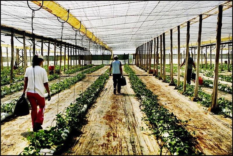 1. Вот в таких теплицах выращивают латук, различные травы, шпинат, помидоры, перец, баклажаны и друг
