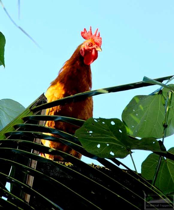 Петухи Бали