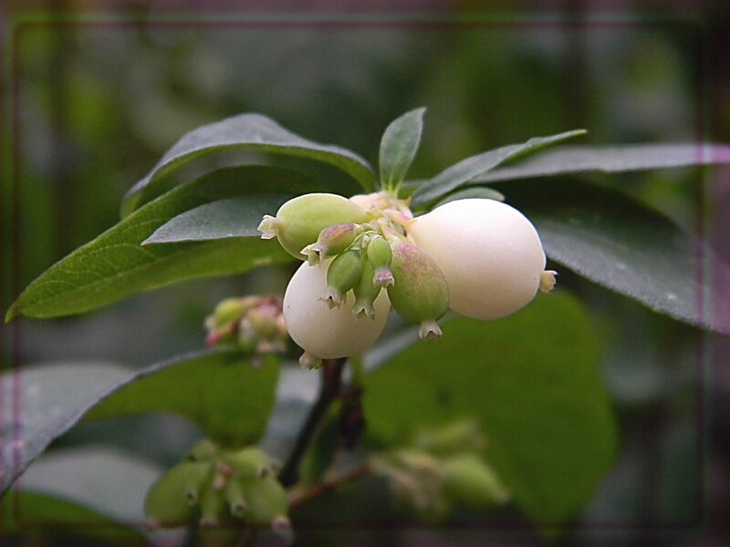 Снежноягодник цветет