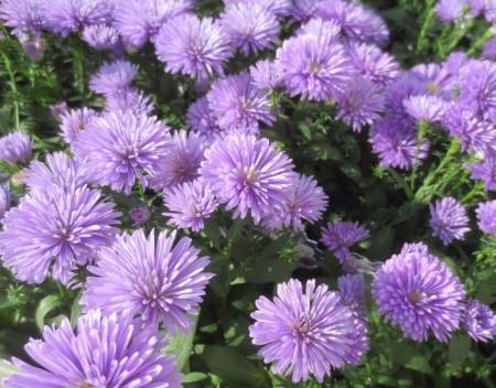 Світло-фіолетові квіти