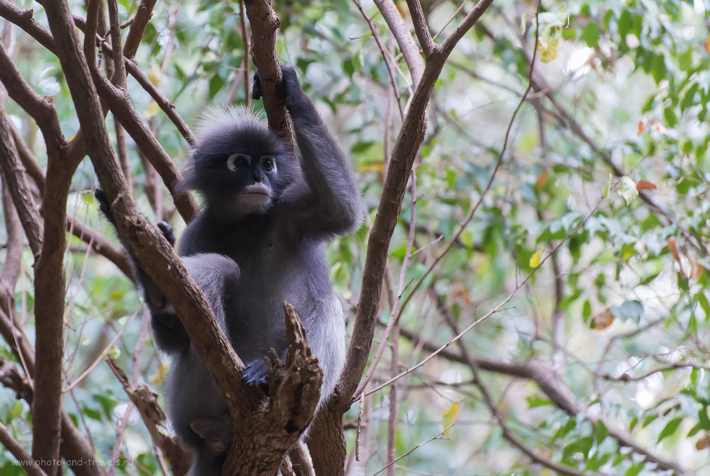 Снимок 19. Фотоохота на обезьян в джунглях Таиланда. По дороге к пещере Прайя Накхон (Phraya Nakhon cave) в национальном парке Кхао Сам Рой Йот. Снято на полнокадровую зеркалку Nikon D610 и телеобъектив Nikkor 70-300. Настройки камеры: (3200, 70, 5.0, 1/400)
